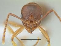 Aphaenogaster subterranea, Arbeiterin, frontal