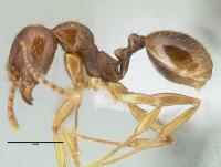 Aphaenogaster subterranea, Arbeiterin, lateral