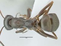 Formica fusca, Arbeiterin, dorsal