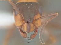 Formica polyctena, Arbeiterin, frontal