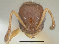 Temnothorax nigriceps, Arbeiterin, frontal