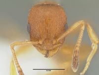 Temnothorax unifasciatus, Arbeiterin, frontal