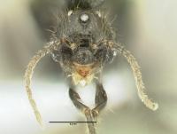 Diplorhoptrum fugax, Männchen, frontal