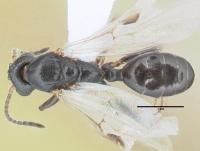 Dolichoderus quadripunctatus, Männchen, dorsal