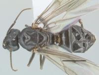 Lasius brunneus, Männchen, dorsal