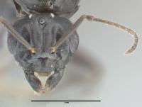 Lasius brunneus, Männchen, frontal