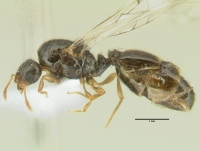 Diplorhoptrum fugax, Königin, lateral