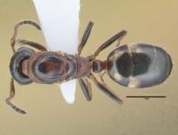 Dolichoderus quadripunctatus, Königin, dorsal