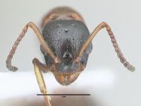 Dolichoderus quadripunctatus, Königin, frontal
