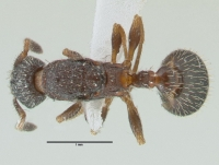 Leptothorax acervorum, Königin, dorsal
