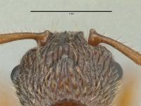 Myrmica schencki, Königin, Detail Scapus-Gelenke