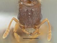 Strongylognathus testaceus, Königin, frontal