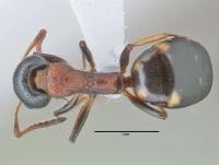 Dolichoderus quadripunctatus, Arbeiterin, dorsal