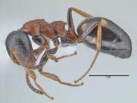 Dolichoderus quadripunctatus, Arbeiterin, lateral
