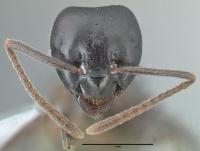 Lasius fuliginosus, Arbeiterin, frontal