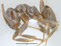 Lasius platythorax, Arbeiterin, lateral