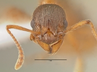 Myrmica rubra, Arbeiterin, frontal