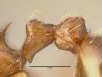 Myrmica rubra, Arbeiterin, Detail Petiolus und Postpetiolus lateral