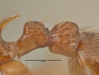 Myrmica ruginodis, Arbeiterin, Detail Petiolus und Postpetiolus lateral