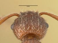 Myrmica rugulosa, Arbeiterin, Detail Scapus-Gelenke