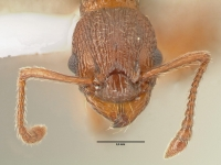 Myrmica rugulosa, Arbeiterin, frontal