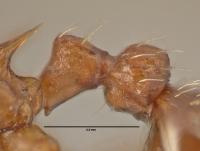 Myrmica rugulosa, Arbeiterin, Detail Petiolus und Postpetiolus lateral