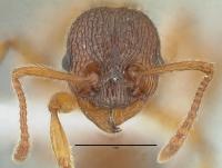 Myrmica schencki, Arbeiterin, frontal