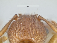Myrmica sabuleti, Arbeiterin, Detail Scapus-Gelenke