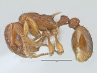 Myrmica sabuleti, Arbeiterin, lateral