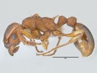 Myrmica specioides, Arbeiterin, lateral