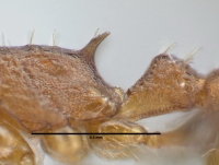 Temnothorax affinis, Arbeiterin, Propodealdorn