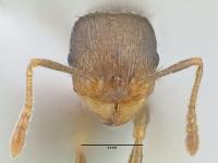 Tetramorium caespitum, Arbeiterin, frontal